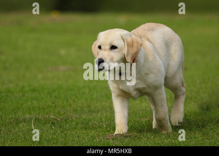 Pedigree Golden Labrador puppy playing in a field in the UK - Stock Photo