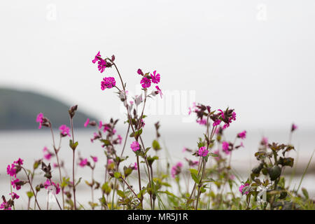 Red Campion flowers near coast with sea and headland behind - Stock Photo
