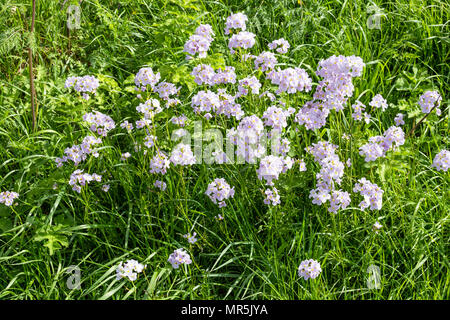 Ladies Smock (Cardamine pratensis) also known as Cuckoo Flower or Milkmaids flowering in a roadside verge in the Forest of Dean near St Briavels, Glou - Stock Photo