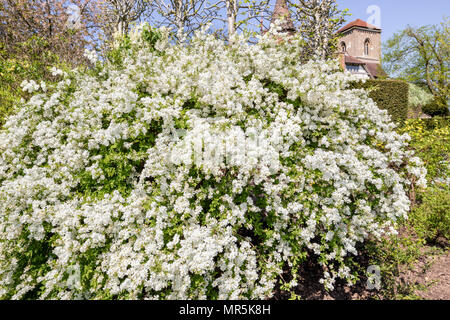Pearl bush Exochorda macrantha 'The Bride'.in the gardens of Little Malvern Court a 15th century Priors Hall at Little Malvern, Worcestershire UK - Stock Photo