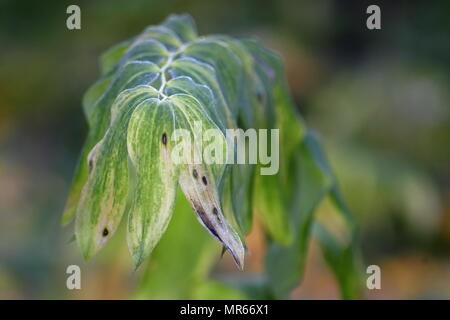 Solomon's seal, Polygonatum hybridum - Stock Photo