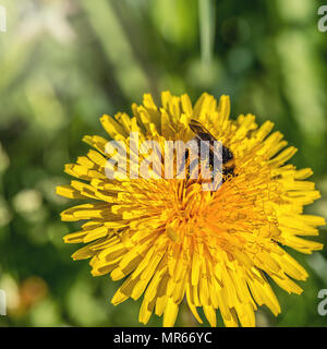 Bumblebee on the dandelion flower at sunny day. - Stock Photo