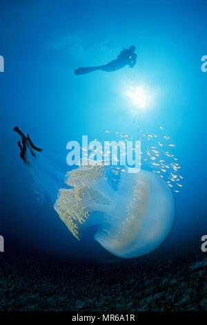 Diver over cauliflower jellyfish (Rhizostoma octopus), accompanied by small fish, Gran Canaria, Canary Islands, Spain - Stock Photo