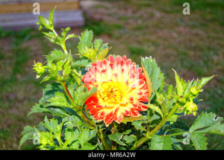 red-yellow Dahlia on the background of green grass in summer, Russia - Stock Photo