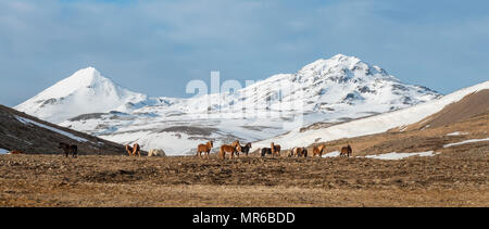 Herd Icelandic horses (Equus przewalskii f. caballus) in front of snow-covered mountains, Southern Iceland, Iceland - Stock Photo