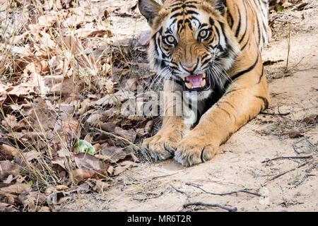 Two year old wild male Bengal Tiger, Panthera tigris tigris, snarling, Bandhavgarh Tiger Reserve, India - Stock Photo