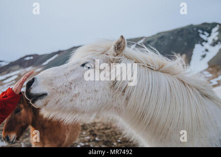 cropped shot of person touching nose of beautiful white icelandic horse, snaefellsnes, iceland - Stock Photo