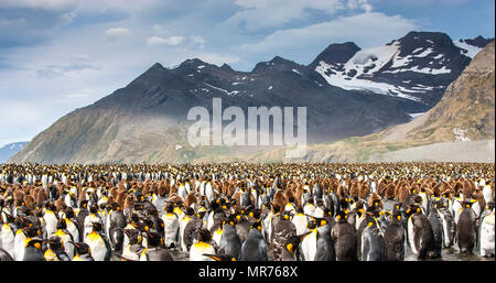 king penguin breeding colony in an island of South Georgia - Stock Photo