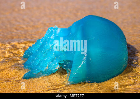 Closeup of a blue jellyfish species Velella, often spotted in the Gold Coast of Queensland in Australia and the Mediterranean Sea. on the Australian beach. - Stock Photo