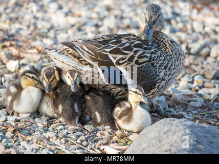 A Mother Duck Tending to her brood of Ducklings - Stock Photo