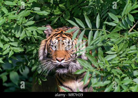 Tiger in a tree (caplivity) - Stock Photo