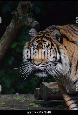 Tiger in a tree (caplivity) - Stock Photo