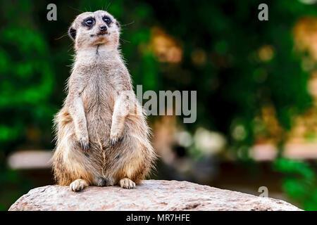 Meerkat in captivity - on guard - Stock Photo