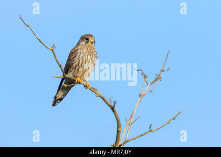 Closeup portrait of a female Common Kestrel (falco tinnunculus) resting on a branch in a tree top - Stock Photo