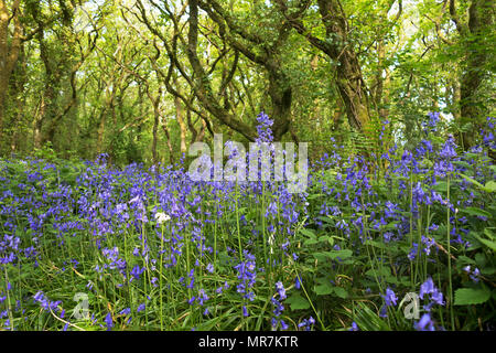 spanish bluebells growing in an ancient oak woodland, unity woods, cornwall, england, uk. - Stock Photo