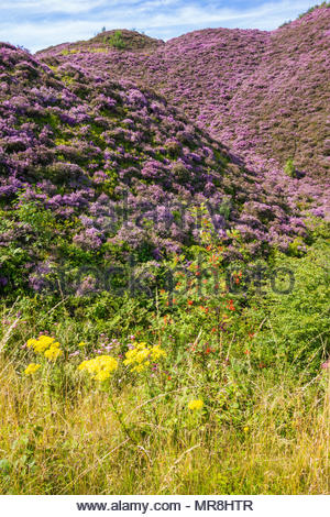 Heather, Oxford Ragwort and Rowan on the slopes of old colliery tips at Varteg, Torfaen, Wales, UK. - Stock Photo