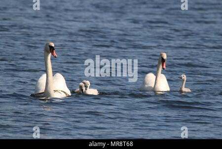 A mute swan Cygnus olor family swimming together on a blue lake - Stock Photo