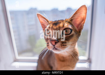closeup view of Abyssinian cat or kitten sitting on the window - Stock Photo