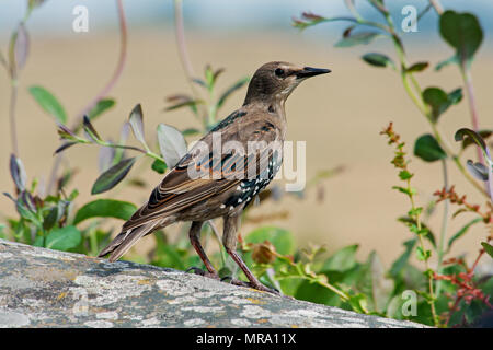 Juvenile starling bird (Sturnus) on a stone of Stonehenge, Salisbury, UK. - Stock Photo
