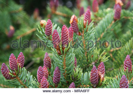 Spruce cones beginning to grow on a spruce tree during the spring season in Ontario, Canada. - Stock Photo