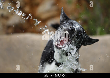 Palma, Balearic Islands, Spain. 19th May, 2018. A mallorca shepherd dog plays with a water jet from a hose during a high temperatures spring season day, in the Spanish Mediterranean island of Mallorca Credit: Clara Margais/ZUMA Wire/Alamy Live News - Stock Photo
