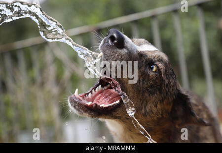 Palma, Balearic Islands, Spain. 18th May, 2018. A mallorca shepherd dog plays with a water jet from a hose during a high temperatures spring season day, in the Spanish Mediterranean island of Mallorca. Credit: Clara Margais/ZUMA Wire/Alamy Live News - Stock Photo