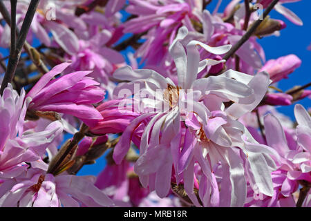 Beautiful pink magnolia blossoms in full bloom - Stock Photo