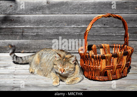A multi-colored thick cat is located next to an empty wicker basket of wooden rods lies on a wooden surface against the background of a wall of black  - Stock Photo