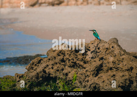 Common kingfisher Alcedo atthis bird sitting on the sea rock at the beach in Israel. - Stock Photo