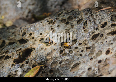 Bee drinking water from drops on a perforated rock. - Stock Photo