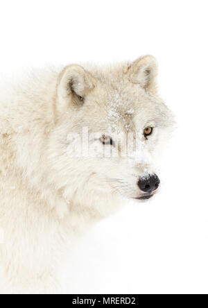 A lone Arctic wolves (Canis lupus arctos) standing in the winter snow Canada - Stock Photo