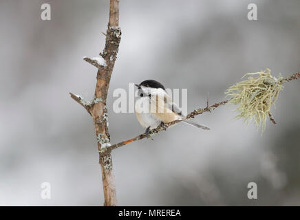 Black-capped Chickadee perched on branch in winter in Algonquin Park in Canada - Stock Photo