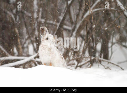 Snowshoe hare or Varying hare (Lepus americanus) standing in the snow with a white coat in winter in Canada