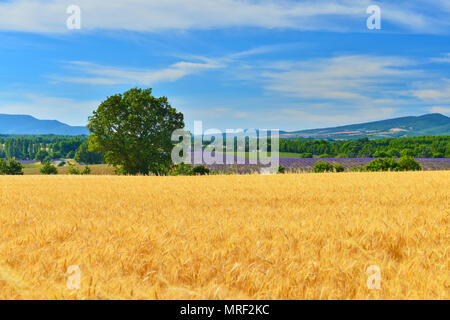 Wheat and  lavender in south  Provence, France. - Stock Photo
