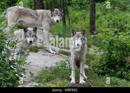 Timber wolves or Grey wolf (Canis lupus) standing on a rock cliff in summer in Canada - Stock Photo