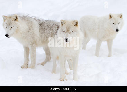 Arctic wolves (Canis lupus arctos) standing in the winter snow Canada - Stock Photo