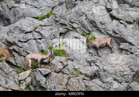 Ibex (Capra ibex) walking on rocky cliff in Canada - Stock Photo
