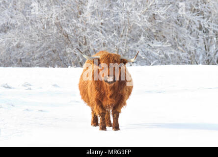 Highland cow standing in a snowy field in winter in Canada - Stock Photo