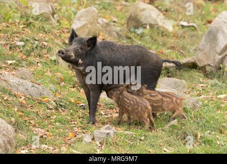 Wild boar feeding two piglets in Canada - Stock Photo
