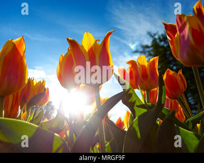 Plants and flowers: orange tulips on flowerbed, low-angle view, bright blue sky at background - Stock Photo