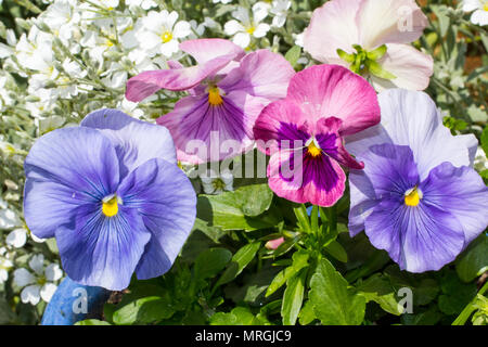Beautiful pastel colour pansies growing in the garden in the blue flowerpot. - Stock Photo
