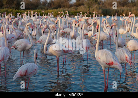 Pink big bird Greater Flamingo, Phoenicopterus ruber, in the water, Camargue, France - Stock Photo