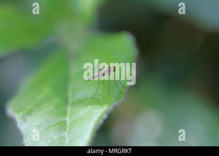snipe fly chrysopilus asiliformis in the rhagio group of flies not rhagio scolopacea at rest on a viburnum tinus or laurustinus leaf in Italy - Stock Photo