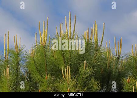 Mediterranean pine tree shoots Latin pinus pinea also called umbrella, parasol or Italian stone pine family pinaceae not maritime pine pinus pinaster - Stock Photo