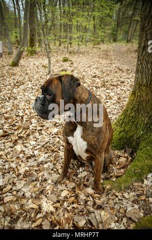 Wandering Boxer Germany - Stock Photo