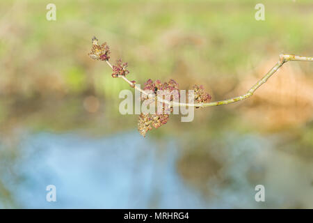 Close up or Red purple flower buds of the Ash tree against a blurred background - Stock Photo