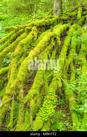 Moss covered branches on a fallen tree in the woods - Stock Photo