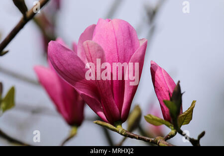 Pink magnolia tree in flower in Roath Park Cardiff UK - Stock Photo