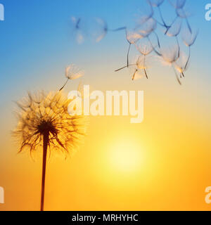Silhouette of dandelion against the backdrop of the setting sun. Macro photography wuth place for text. Summer concept. - Stock Photo
