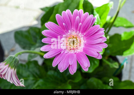 Gerbera flower, gerbera blossom pink - Stock Photo